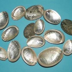 12 Abalone schelpen - 25-30mm